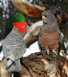 The cockatoo is one of the most favorite pet birds. It belongs to the parrot family and comprises around Tropical Birds, Colorful Birds, All Birds, Love Birds, Australian Parrots, Different Types Of Animals, Toucan, Most Beautiful Birds, All Nature