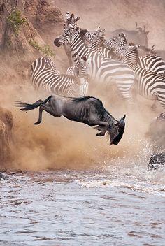 Herd Of Wildebeest And Zebra Crossing Mara River During Migration Kenya