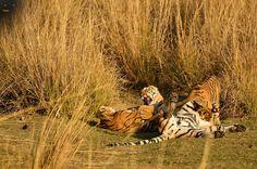 Season round up on tiger sightings & dynamics at Ranthambore http://www.tigerwalah.com/ranthambore-round-up/