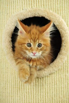 Funny Cat Orion. Maine Coon kitten. LOL Kitten Photo