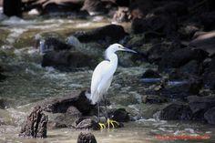 Garza en Puntarenas, Costa Rica.