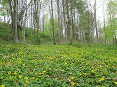 Tony Anthony J Sargeant Wild Garlic, Deciduous Trees, Landscape Photographers, Woodland, Photographs, Leaves, Floor, Stars, Yellow