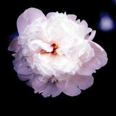 Early delight - Japanese peony
