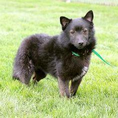 Woofie (A037920)  Pomeranian/Schipperke Mix: An adoptable dog in Springfield, IL   Small • Adult • Male #Schipperke http://dogtrainingvideosonline.info