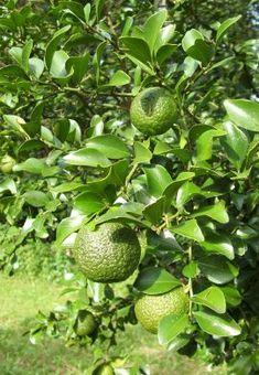 ROUND LIME (Gympie Lime or Dooja) Citrus australis