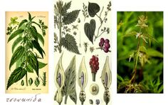 Τσουκνίδα - urtica dioica, το βότανο πανάκεια
