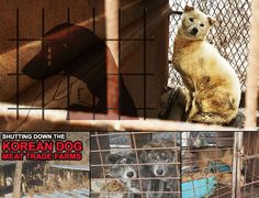 We allow a fundraising under Nami Kim's name exclusively Soi Dog and Koreandogs  Each year, millons of Korean dogs are brutally slaughtered for their meat.
