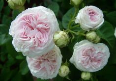 Delicate Antiquity -- The Félicité Parmentier is an old garden rose in the alba group, with a single flush of beautiful, fragrant, pale pink flowers.