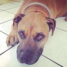 Sweet eyes!!! Pit dog