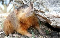 How the cute, furry and highly venomous Solenodon survived extinction against all odds These distinctive Caribbean mammals are a lot tougher than they look. Martha Henriques By Martha Henriques August 2017 BST Ugly Animals, Rare Animals, Ugliest Animals, Bizarre Animals, Unusual Animals, Reptiles, Mammals, Zebras, Haiti