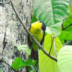 Bird ID: Common Iora #male #forest #India #birdsofinstagram #birdlovers #naturebirds #flowers #nature #naturetrails #travel #travelgram #kerala #birdoftheday #photoftheday #canon #birdingphotography #thebirdman #collections #knowyourterrain #xtb