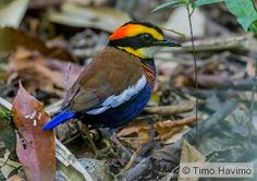2016-02-01 Banded Pitta in rainforest, Thailand