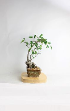 """Ficus Micro Carpa Bonsai Tree """"Spring'17 Ficus Collection"""" by LiveBonsaiTree by LiveBonsaiTree on Etsy"""