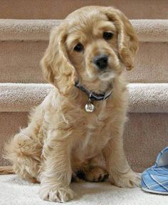 Cocker Spaniel - Tap the pin for the most adorable pawtastic fur baby apparel! You'll love the dog clothes and cat clothes! <3