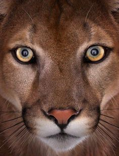 The Eastern Cougar was declared extinct in '11. We must work to save the rest of the cougars and big cats