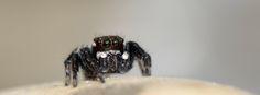 https://flic.kr/p/u4xi5B | jumping spider June 8, 2015 | Small jumping spider in Fytema, Ikaria, Greece - June 8, 2015