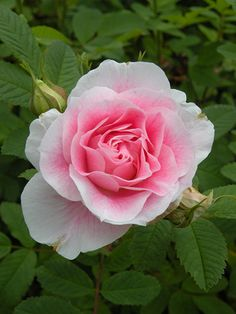Martin Frobisher - Hybrid Rugosa (Shrub), light pink, double, 1970, rated 7.4 (good) by ARS.
