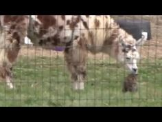Llama Has Been Nuzzling Her Favorite Barn Cat For Years