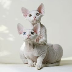 Devon Rex Cat | Devon Rex Cat Pictures Gallery
