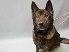 SAFE 12-26-15 BOOMER – A1061137 MALE, BLACK / BROWN, GERM SHEPHERD, 5 yrs OWNER SUR – EVALUATE, HOLD FOR ID Reason PERS PROB Intake condition EXAM REQ Intake Date 12/21/2015, From NY 11362, DueOut Date 12/21/2015, Urgent Pets on Death Row, Inc