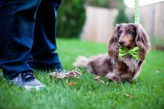Doug the Dachshund looking quite dapper in Mod Dog in Lime.
