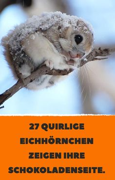 27 lively squirrels show their chocolate side.- 27 lively squirrels show their chocolate side. Funny Bird, Animals And Pets, Cool Kids, Squirrels, Home Design, Hair Style, Humor, Pictures, Funny Pictures Of Animals