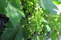 https://flic.kr/p/w9gwT6 | Growing grapes.