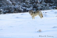 Photos by Dave Shumway - Yellowstone Wildlife Guide including Grizzly, Wolves, Yellowstone Wolves, Yellowstone National Park, Most Visited National Parks, National Parks Usa, Alpha Wolf, Alpha Female, Beautiful Wolves, Animal Totems, Mans Best Friend