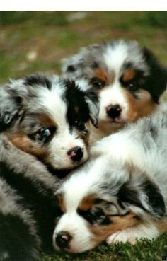 Everything we admire about the Work-Oriented Australian Shepherd Puppy Australian Shepherd Puppies, Aussie Puppies, Cute Puppies, Cute Dogs, Dogs And Puppies, Australian Shepherds, Doggies, German Shepherds, Beautiful Dogs