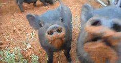 Why Do Baby Piggies Make The Most Adorable Chewing Sound?