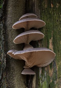 .The edible Oyster Mushroom. One of my FAVORITE wild edibles!!!