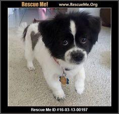 ― Arizona Pomeranian Rescue ― ADOPTIONS ―RescueMe.Org