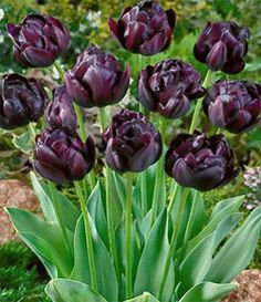 "Double Late - Black Hero  A double-late sport of Queen of the Night, it features peony-form double flowers of a lustrous maroon so dark it shades to black. Flowers are 4 to 5 inches across and carried on strong 22"" stems. A must for cutting and a center of attention in the garden. Blooms late April into early May."