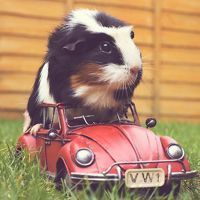24 Cute Guinea Pig Pictures