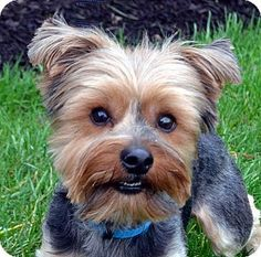 Pictures of Cooper a Yorkie, Yorkshire Terrier Mix for adoption in Bridgeton, MO who needs a loving home.