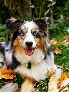 My future house would have to be the home of a pure bred Australian Shepherd, a Pomeranian, and another dog. I'm not sure on the breed of my third one. My Aussie will be trained for Agility and I will enter her in the good neighbor test and obedience classes.