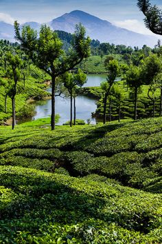 Western Ghats Tea Plantations by Daniel Halmer on 500px