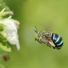 The Blue-banded Bee (Amegilla cingulata) Who knew?!