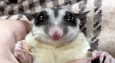 a sugar glider eating a noodle #gif Cute Little Things, My Little Baby, Sugar Glider Baby, Sugar Gliders, Magnificent Beasts, Sugar Bears, Super Cute Animals, Adorable Animals, Creature Feature
