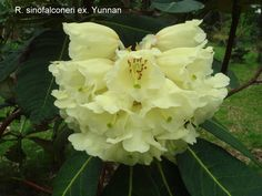 large leaf rhododendron - Google Search