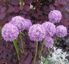 Ajo ornamental, Alium Garden Oasis, Allium, Ornaments, Plants, Inspiration, Beautiful, Gardens, Vegetable Garden, Flowering Plants