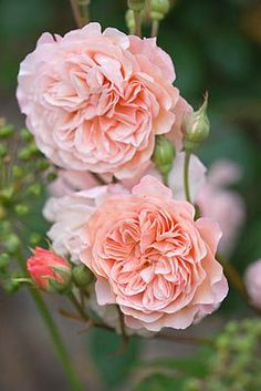 Roses at Easton Walled Gardens | Clive Nichols