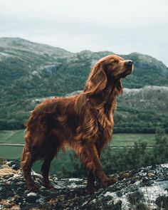 Most of us will agree - dogs are awesome. And that's exactly what Troja, an Irish Setter with a passion for treats and adventures, is. Irish Setter Dogs, Photos With Dog, Family Photos, Family Family, Summer Dog, Summer Travel, Cute Dogs And Puppies, Doggies, Dog Photography