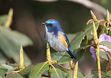 Red flanked bluetail