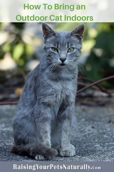 How To Bring an Outdoor Cat Indoors. 6 tips to get you started on transitioning a stray to an inside cat. Big House Cats, Cat Behavior Problems, Buy A Kitten, Cool Cat Toys, Cat Nutrition, Cat Allergies, Cat Jokes, Outdoor Cats, Feral Cats