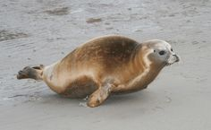 zeehondje op Schier