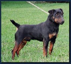 Jagdterrier( now this is a breed I want)!