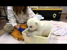 Polar Bear Cub Receives Its First Bath