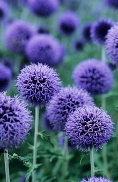 Things I want : Echinops ritro - Globe thistle  - lasts for weeks as a cut flower and dries well.