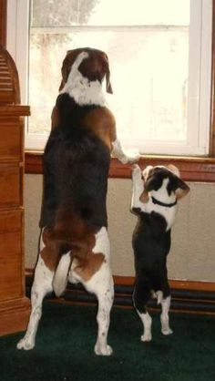 Ok, cutest beagle picture I've pinned yet!!!!!! I want to cuddle these little guys.